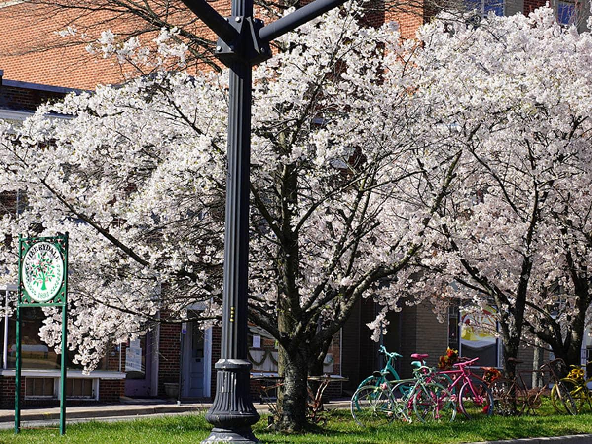 cherry_trees_downtown_cherrydale_arlington_va